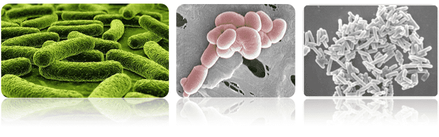 L paracasei, chủng vi sinh, lợi khuẩn, probiotic, vách tế bào, chủng vi khuẩn sinh lactic