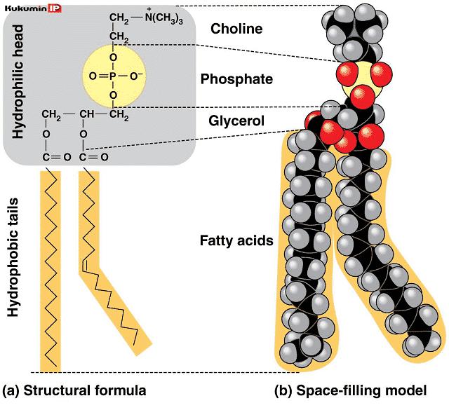 phospholipid, phytosome, PC, phosphatidylcholin chiết xuất từ đậu nành