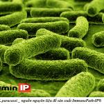 ImmunePath IP, Curcumin Phytosome, peptidoglycan, tăng cường miễn dịch