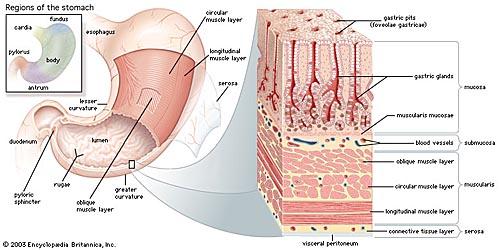 Helicobacter pylori gây ung thư cấu tạo thành dạ dày